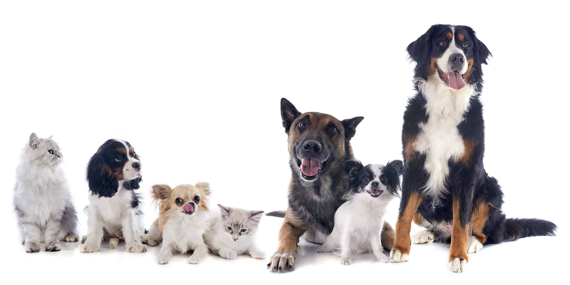 seven dogs and cat in front of white background